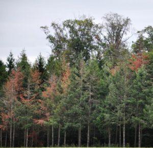 Bäume mit unterschiedlicher Schädigung stehen dicht beieinander: Das Kreisforstamt unterstützt dabei, Trockenschäden und damit die Gefahren beim Fällen richtig einzuschätzen. Foto: Forstamt Main-Tauber